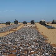 Negombo_beach,_drying_fish_(002)
